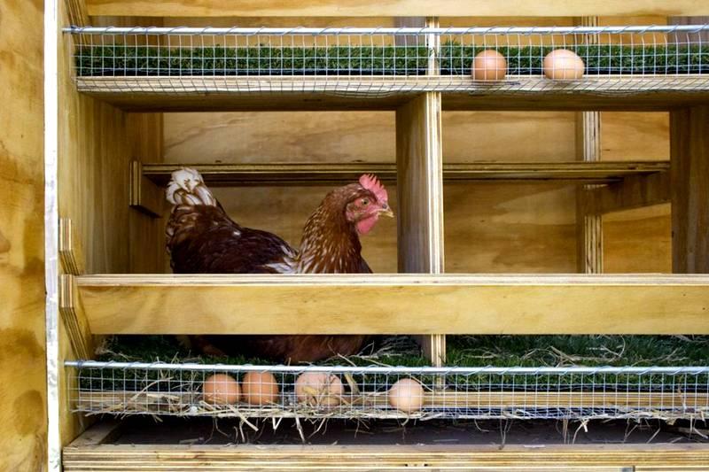 В гнездах для кур-несушек делают входные отверстия