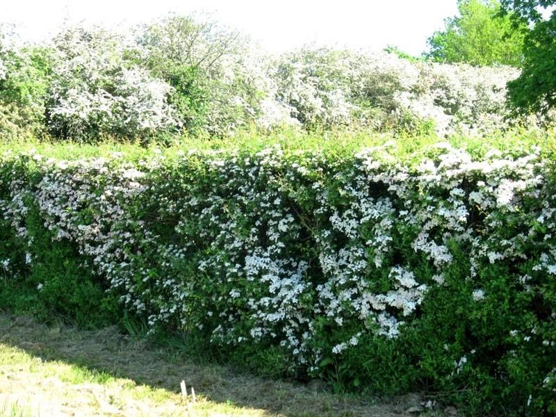 Цветет боярышник белыми цветами, делая «заборчик» еще привлекательнее