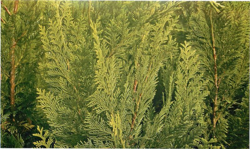 Красивые неколючие веточки растения прекрасно смотрятся и в одиночном варианте декора