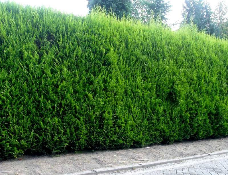 Красивая сочно-зеленого цвета изгородь