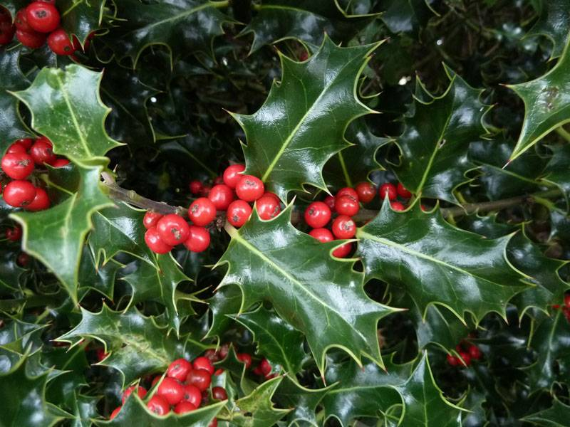 Интересные листья и небольшие плоды – прекрасный вариант для ландшафтного дизайна