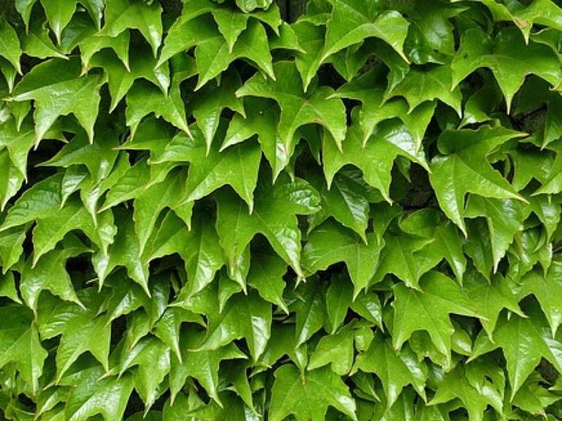 Плотно посаженные растения способны полностью скрыть забор