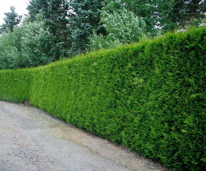 Плотно посаженные растения обеспечивают полную изоляцию вашего участка