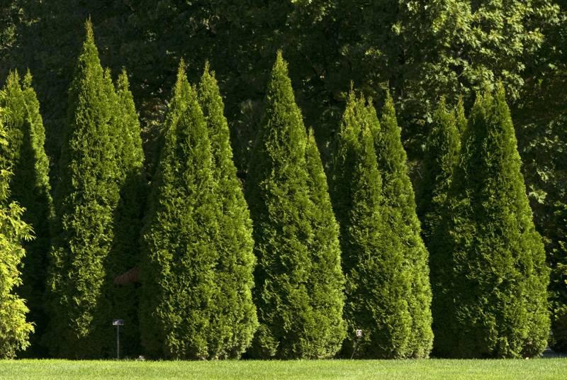 Высокие красивые деревья с плотной кроной