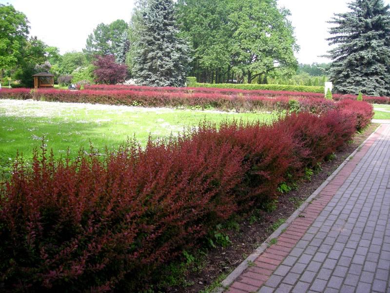 Необычный цвет листьев станет прекрасным завершением дизайна любого участка