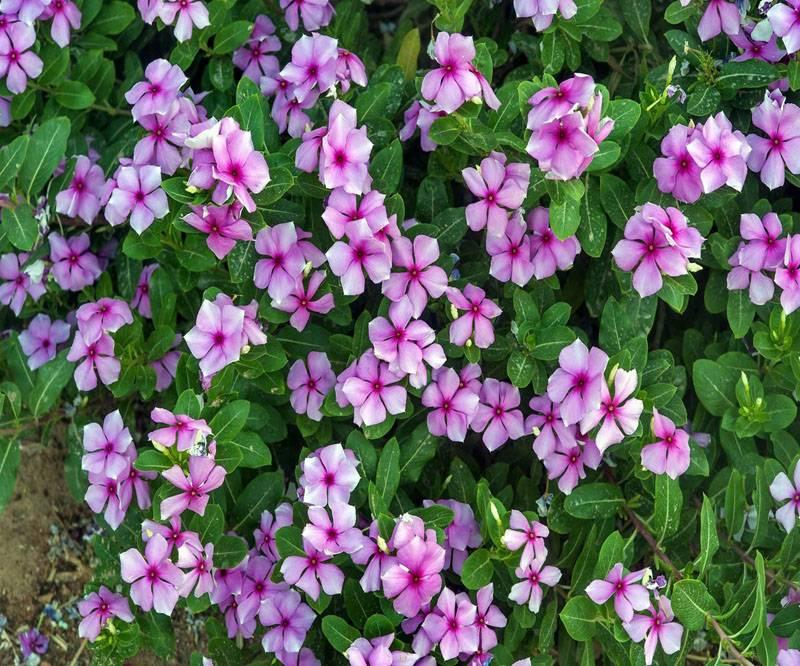 Розовый сорт кустарника