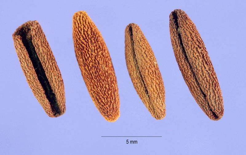 Семена для размножения