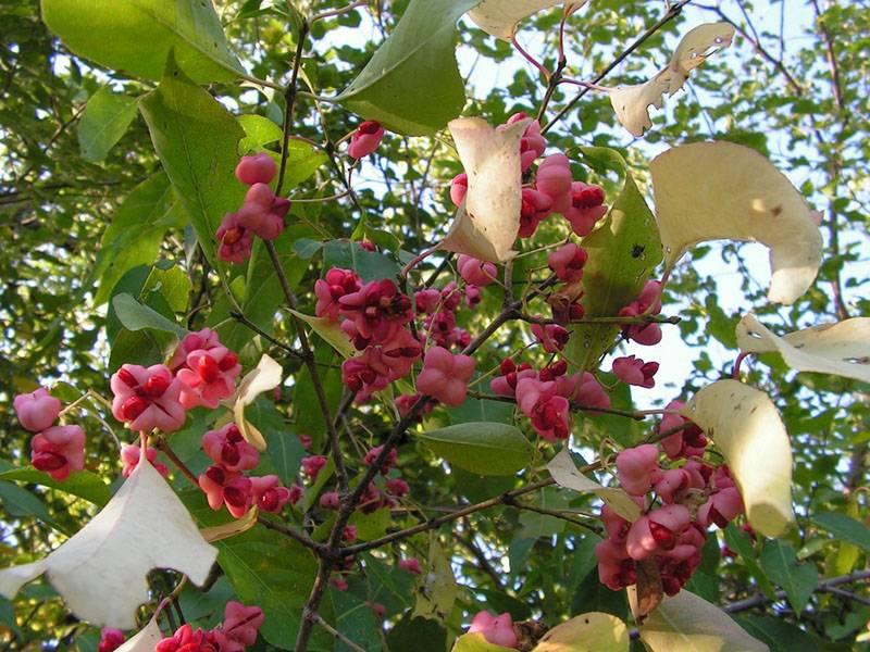 Цветение и плоды