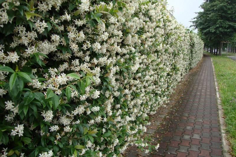 Живой забор в разгар цветения