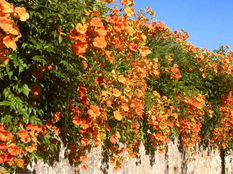 Оранжевый сорт вдоль каменной стены