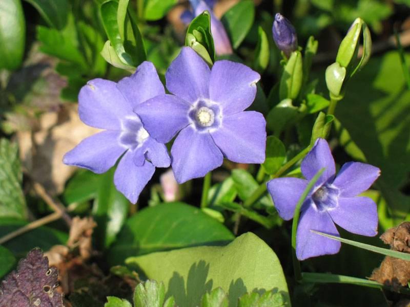 Красивые и аккуратные цветы дополняют зелень изгороди