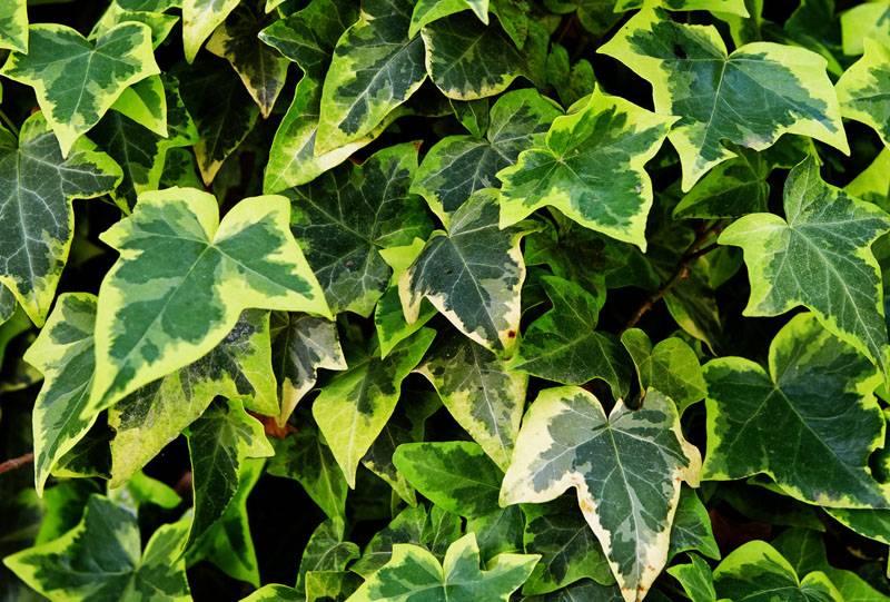 Листва плюща может быть не только зеленой