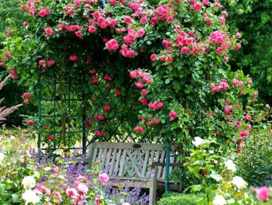 Плетистые розы делают крону над лавочкой в саду