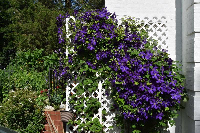Клематис красиво украсит не только заборчик, но и вход в дом