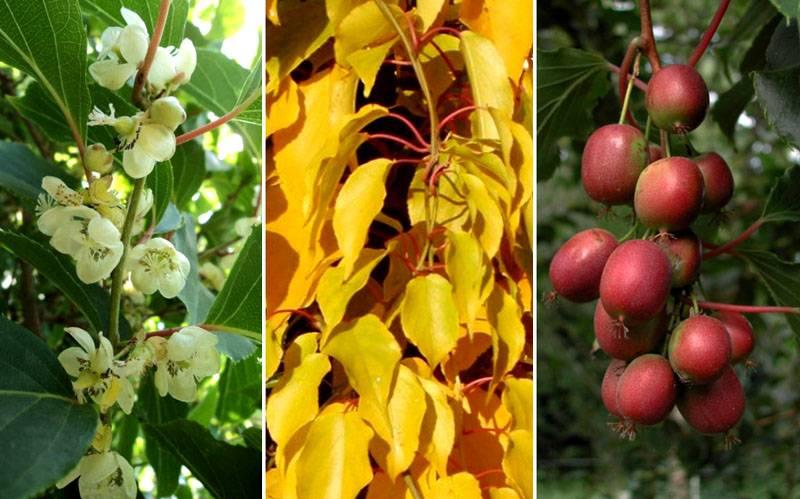 Стадии цветения и развития сорта аргута
