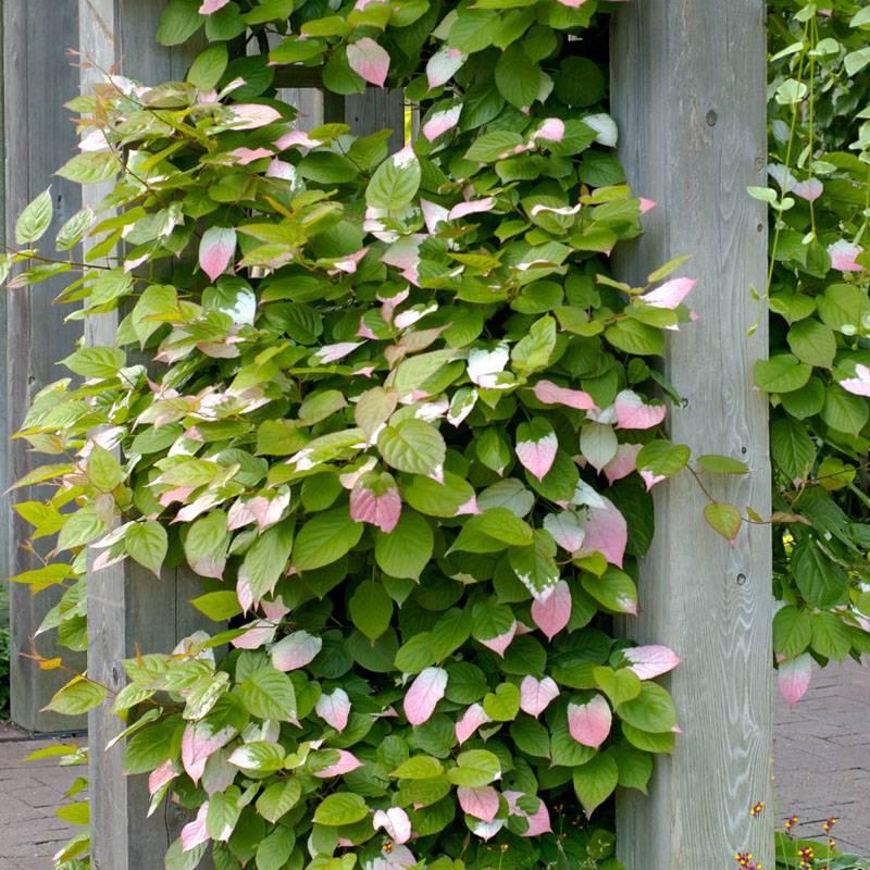 Интересный окрас листьев коломикты