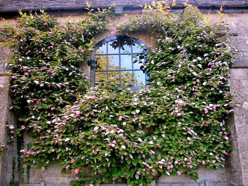 Актинидия прекрасно растет по стенам домов
