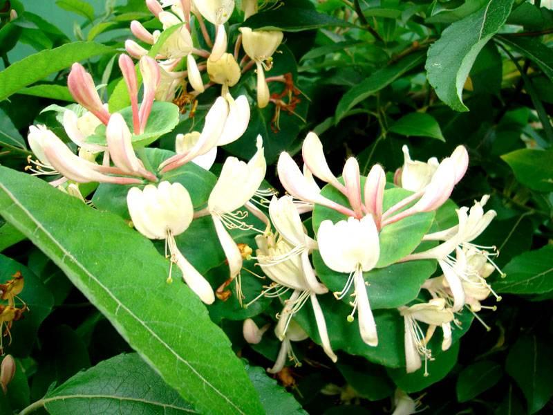 Красивое и изящное соцветие жимолости