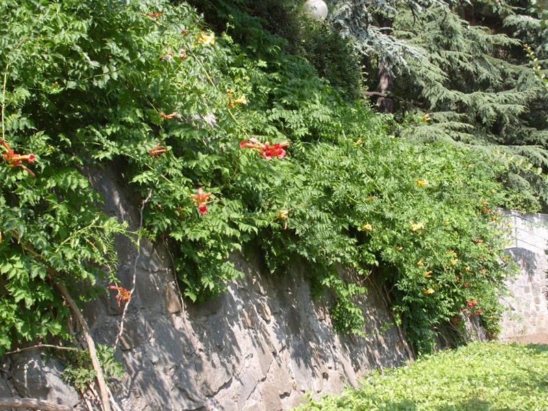 Украшение стены вьюном