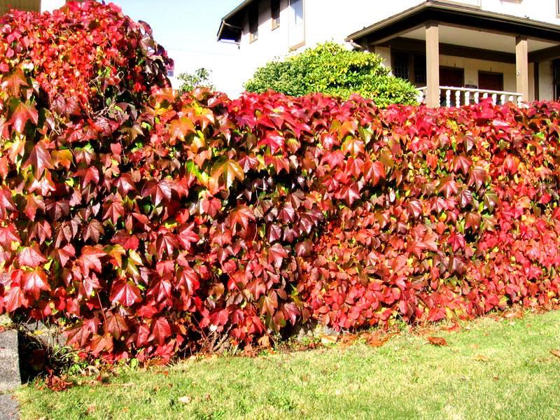 Осенняя красота девичьего винограда