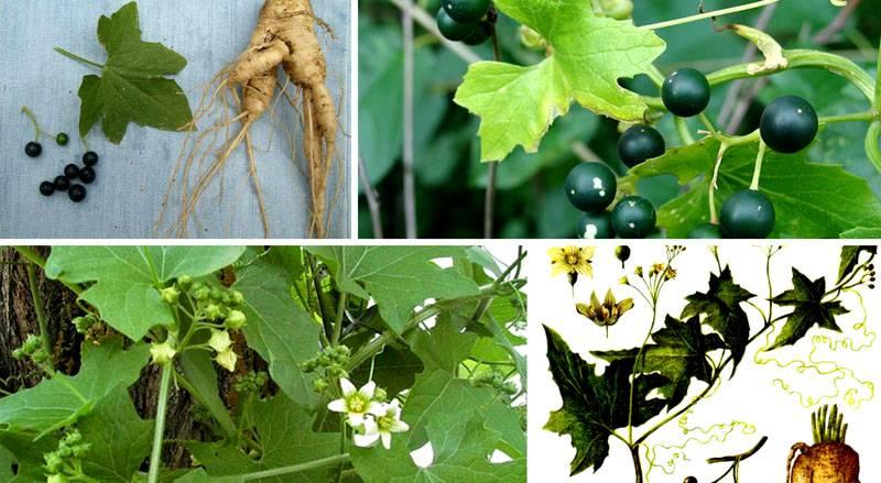 Корень, плоды и листья