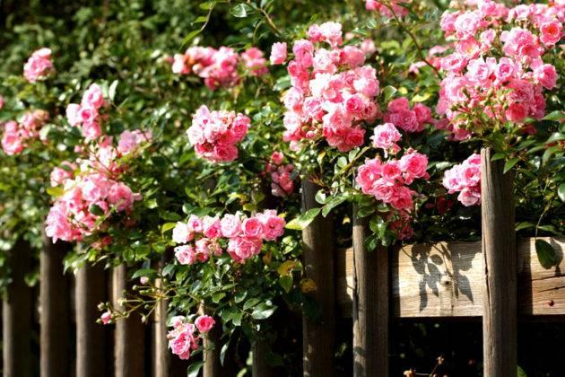 Красивые цветки вдоль деревянного забора