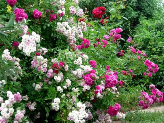 Сочетание оттенков плетистой розы