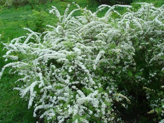 Можно посадить отдельно, тогда в период цветения посреди участка будет белая шапочка