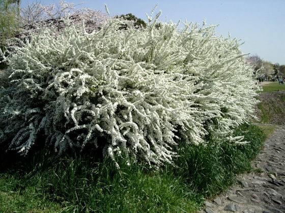 Хорошо выглядят на углу участка, в период цветения