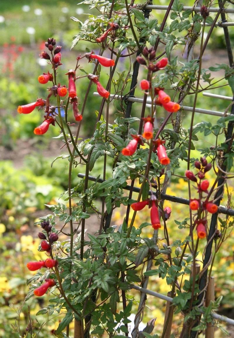 Цветы эккремокарпуса