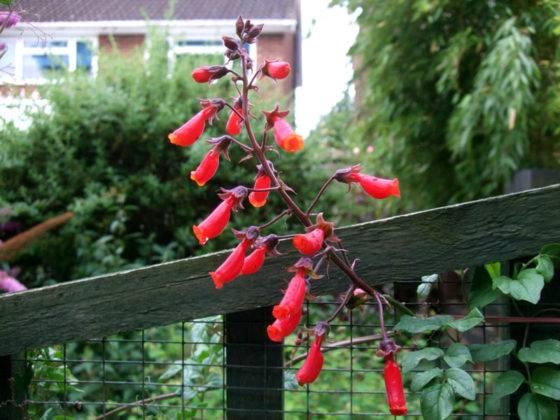 Можно вырастить лиану вблизи решетчатого забора, пропуская цветки через него
