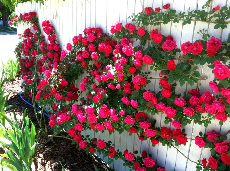 Розы прекрасны и опасны, поэтому дадут дополнительную защиту ограждению