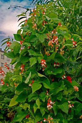 Эккремокарпус может покрыть всю площадь опоры и выглядеть прекрасно