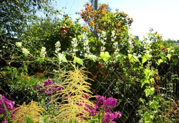 Сочетание лианы с другими растениями