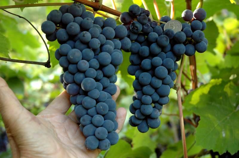 Плоды амурского винограда