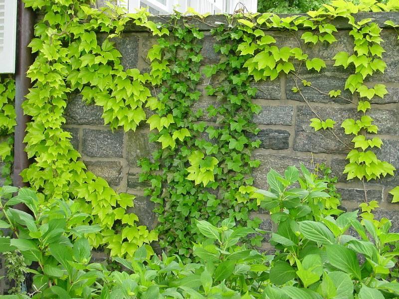 Девичий виноград красиво оплетает даже каменные заборы