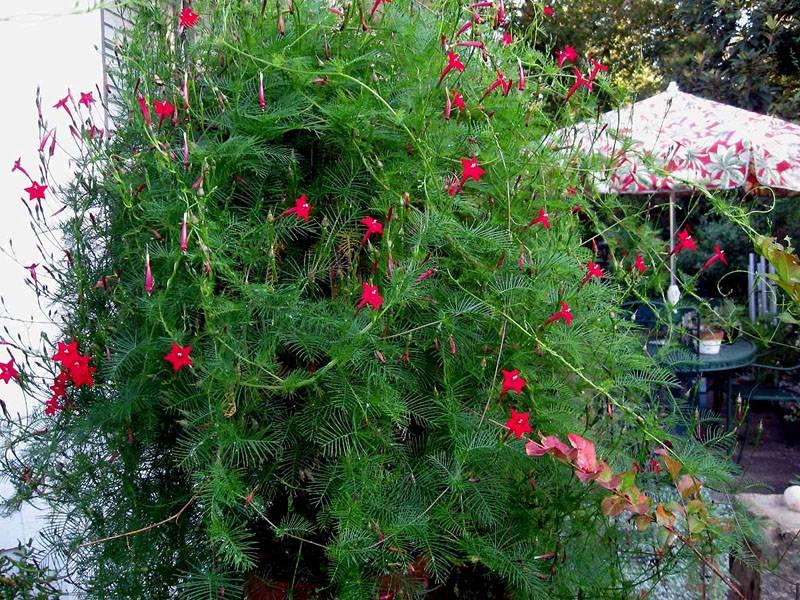 Вьющиеся однолетние цветы могут создавать причудливые формы