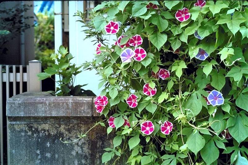 Очень красивые цветы украсят любой дом или участок