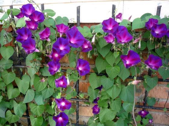 Пурпурная ипомея на специальной решетке для цветов