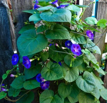 Яркие сини цветы привлекут внимание даже к самому невзрачному забору