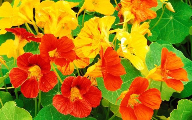 Оранжевые и желтые цветы станут прекрасным украшением участка
