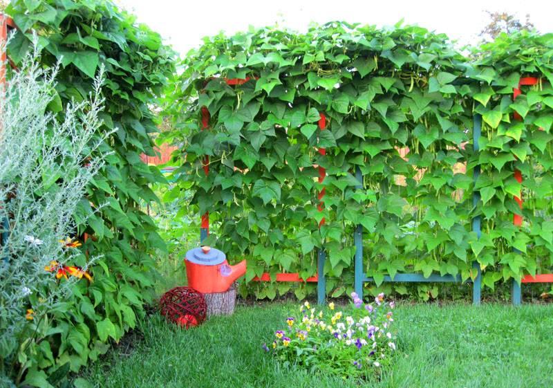 Изгородь из декоративной фасоли до цветения