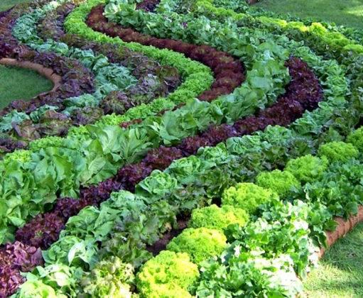 Нестандартное решение для капусты