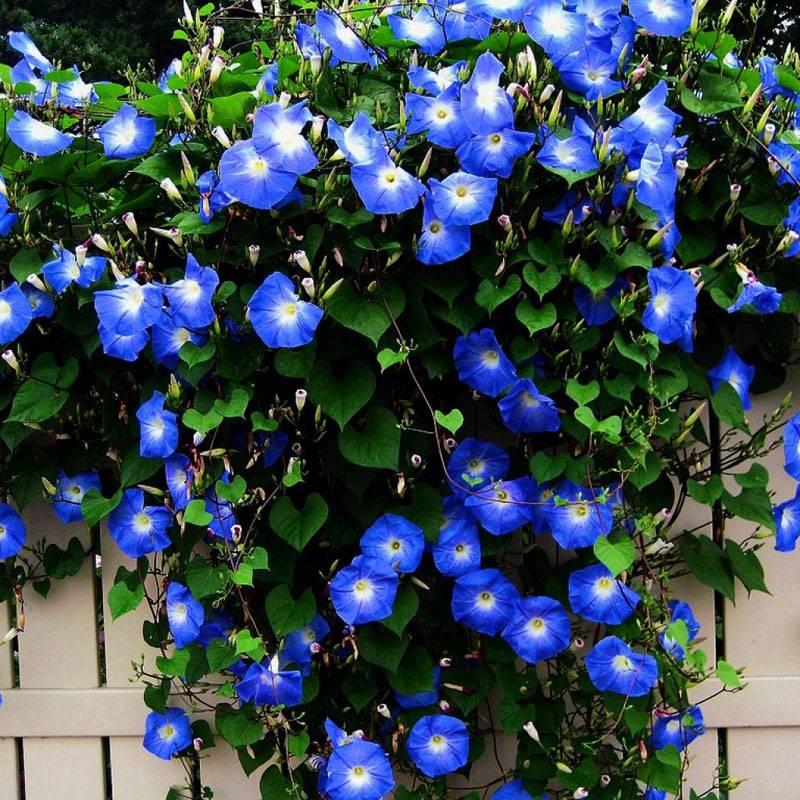 Плетистые многолетние цветы с