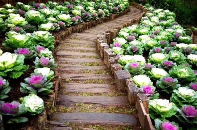 Ровно высаженная цветная капуста – уже элемент декора