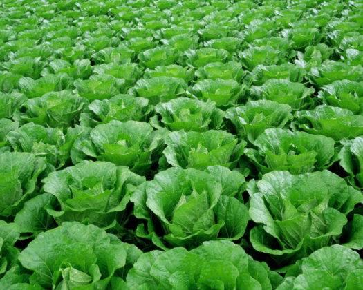 Идеальные капустные полосы