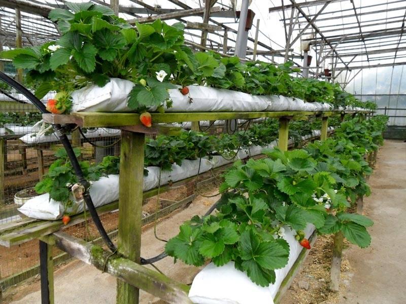 Выращивание ягод в парнике в мешочках