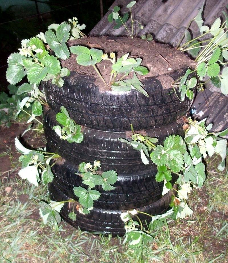 Выращивание клубники в колесах фото 34