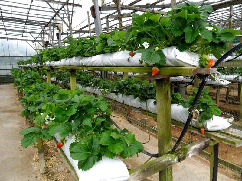 А это уже мешки для клубники с автоматическим поливом – промышленный вариант выращивания