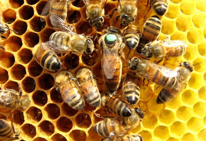 Это очень правильные пчелы. И они делают очень правильный мед